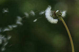 Blowing away a dandelion clock by doegox*
